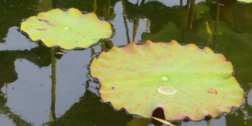 Focus: Explaining the Ruffles of Lotus Leaves