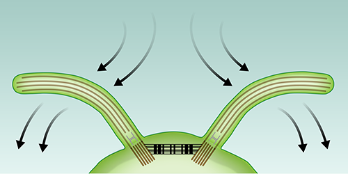 Viewpoint: Synchronized Cell Motion without Fluid Interactions